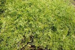 Fresh green fern Royalty Free Stock Photo