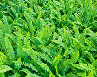 Fresh green ferns Stock Images
