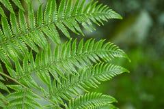 Fresh green ferns background. Fresh green New Zealand fern backgrounds Stock Photos