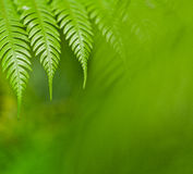 Fresh green ferns. Fresh green New Zealand fern backgrounds Royalty Free Stock Photography