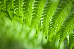 Fresh green ferns. Fresh green New Zealand fern backgrounds Royalty Free Stock Photo