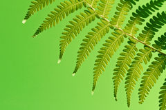 Fresh green ferns. Fresh green New Zealand fern backgrounds Royalty Free Stock Images