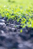 Fresh, green and fertile agriculture plants, grass. Fresh green plants on an agriculture field fertile monoculture monocropping pure plantation farming nutrient royalty free stock images