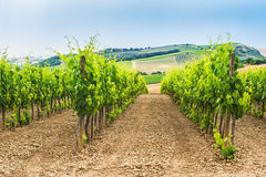 Fresh green field of grapes in Chianti. Stock Images