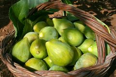 Fresh green figs. With green leaves in a wicker basket stock photo