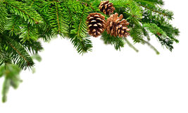 Fresh green fir branch with cones Royalty Free Stock Image