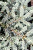 Fresh green fir branch Stock Photography