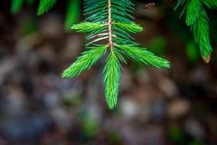 Fresh green fir branch Royalty Free Stock Photos