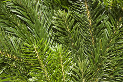 Fresh green fir branches Royalty Free Stock Photography