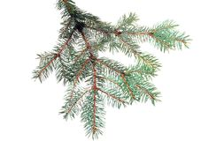 Fresh green fir branches. Royalty Free Stock Photography