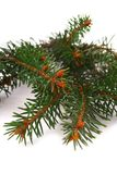 Fresh green fir branches Stock Image