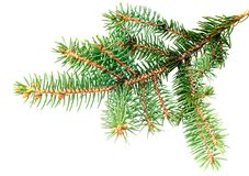 Fresh green fir branches. Isolated Royalty Free Stock Photos