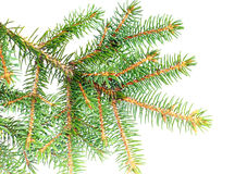 Fresh green fir branches. Isolated Stock Photo