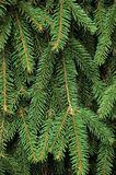 Fresh Green Fir Twig Needle Background Royalty Free Stock Image