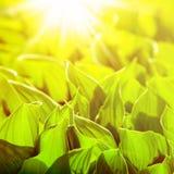 Fresh green flower leaves Royalty Free Stock Photo