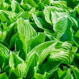 Fresh green flower leaves Stock Photo