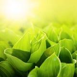Fresh green flower leaves Royalty Free Stock Images