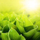 Fresh, green flower leaves at sunlight Royalty Free Stock Photography