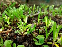 Fresh green flower plants growing in the garden. Young plants. stock photography