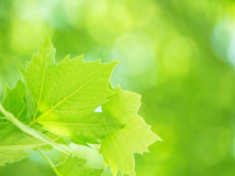 Fresh green foliage background Stock Photos