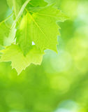 Fresh green foliage background Royalty Free Stock Image