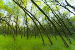 Fresh green foliage in forest in spring Stock Images