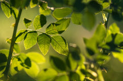 Fresh green foliage Royalty Free Stock Images