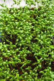 Fresh green garden cress sprouting redy for salad royalty free stock photo