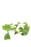 Fresh green Ginkgo Royalty Free Stock Photo