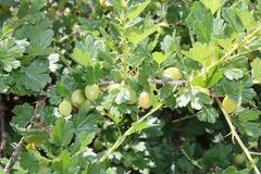Fresh Green Gooseberries. Royalty Free Stock Image