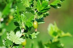 Fresh Green Gooseberries On A Branch Of Gooseberry Bush Royalty Free Stock Photos