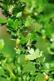 Fresh Green Gooseberries On A Branch Of Gooseberry Bush Stock Image