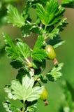 Fresh Green Gooseberries On A Branch Of Gooseberry Bush Stock Photo