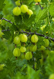 Fresh green gooseberries on a branch of gooseberry bush with sun Royalty Free Stock Image