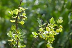 Fresh green gooseberries on a branch of gooseberry bush with sunlight. stock photography