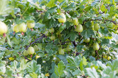 Fresh green gooseberries on a branch of gooseberry bush with sunlight. Royalty Free Stock Images