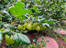 Fresh Green Gooseberries. Ripe Gooseberry In The Fruit Garden royalty free stock photos