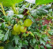 Fresh Green Gooseberries. Ripe Gooseberry In The Fruit Garden royalty free stock photo