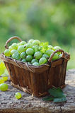 Fresh green gooseberries in a wooden basket Stock Images