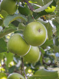Fresh green Granny Smith apples. On a farm Stock Photo