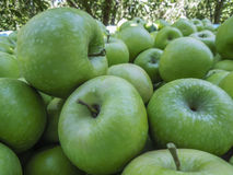 Fresh green Granny Smith apples. On a farm Stock Images