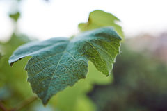 Fresh Green Grape Leaf. Closeup Shot royalty free stock photos