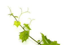 Fresh Green Grape Leaf on isolated white Stock Image