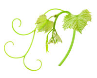 Fresh Green Grape Leaf Stock Images