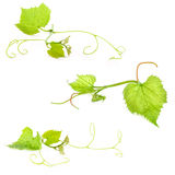 Fresh Green Grape Leaf. Isolated on white Background stock photography