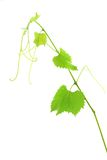 Fresh Green Grape Leaf on  white Royalty Free Stock Photo