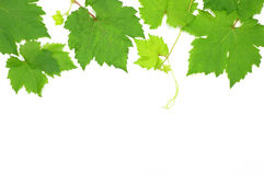 Fresh Green Grape Leaf. On white Background royalty free stock image