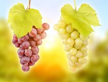 Fresh green grapes Royalty Free Stock Image