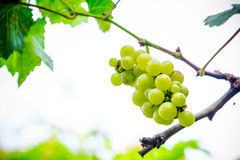 Fresh green grapes on the branches. royalty free stock photo