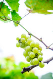 Fresh green grapes on the branches. Stock Images